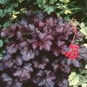 Heuchera (Alumroot/Coral Bells) Gallons