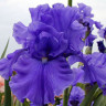 Iris germanica (Bearded Iris)