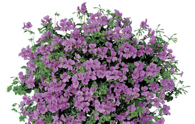Single bloom geranium