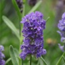 Lavandula angustifolia (Lavender) Gallons