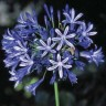 Agapanthus 'Headbourne Hybrids' (African Lily) [ID#1418]