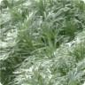 Artemisia schmidtiana 'Silver Mound' (Wormwood) [ID#586]