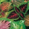 Coleus, 'Kong' (from seed)