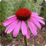 Echinacea purpurea (Coneflower) 'Ruby Star' [ID#1388]