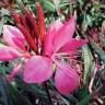 Gaura lindheimeri 'Belleza Dark Pink' (Wand Flower) [ID#627]