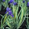 Iris pallida 'Albovariegata' (Zebra Iris) [ID#663]