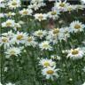 Leucanthemum xsuperbum 'Becky' (Shasta Daisy) Gallons [ID#665]