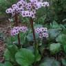 Bergenia cordifolia 'Winter Glow' [ID#594]