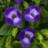 Torenia 'Summer Wave Bouquet Deep Blue' [ID#1620]